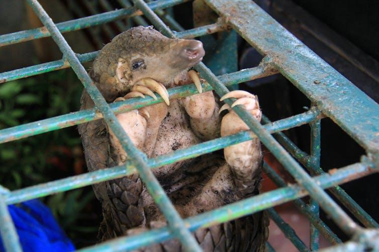 A pangolin in a cage.