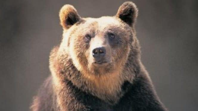Beruang Cokelat Divonis Hukuman Mati akibat Serang Manusia