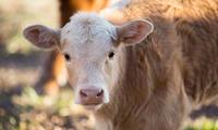 牛年冷知識大會考!你知道牛牛哪天生日嗎?各地牛節慶你聽過嗎