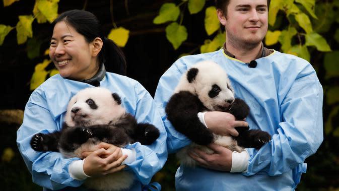 Anak kembar panda raksasa diperkenalkan kepada publik di taman margasatwa Pairi Daiza, Brugelette, Belgia, Kamis (14/11/2019). Panda kembar berjenis kelamin jantan dan betina yang lahir pada Agustus 2019 itu diberi nama