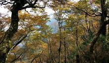 太平山賞山毛櫸超完美攻略!林管處加開專車狂追黃金大景