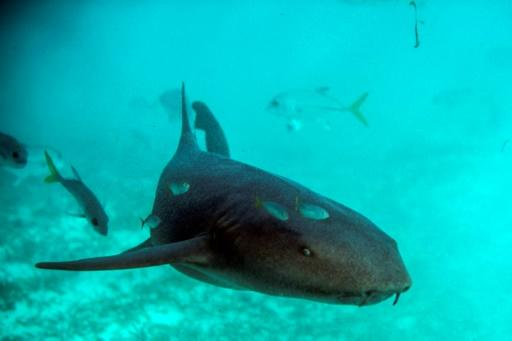 A nurse shark swims at the Hol Chan Marine Reserve coral reef in the outskirts of San Pedro village in Belize, on June 7, 2018