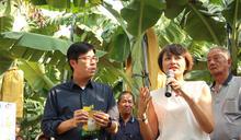 關切產銷情形 陳其邁邱議瑩走訪香蕉園 (圖)