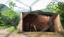 全球最孤獨大象「卡萬」重獲自由