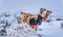 罕見!中東、撒哈拉沙漠極凍 「雪中駱駝」模樣曝
