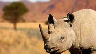 Inside a multimillion dollar plan to help save black rhinos from extinction