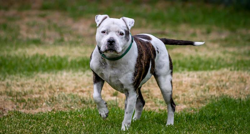 Blue was a Staffordshire bull terrier dog who was euthanised by Derby County Council in the UK while his owner was overseas on a holiday