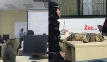 虎斑貓學生上課時間躺書桌狂睡 網笑:下課再叫你?