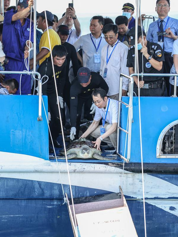 Para sukarelawan melepaskan penyu ke laut di Wilayah Lingshui, Provinsi Hainan, China selatan, pada 9 Agustus 2020. Sebanyak 99 ekor penyu, baik yang terdampar maupun hasil sitaan oleh penegak hukum, dilepaskan kembali ke laut pada Minggu (9/8). (Xinhua/Zhang Liyun)