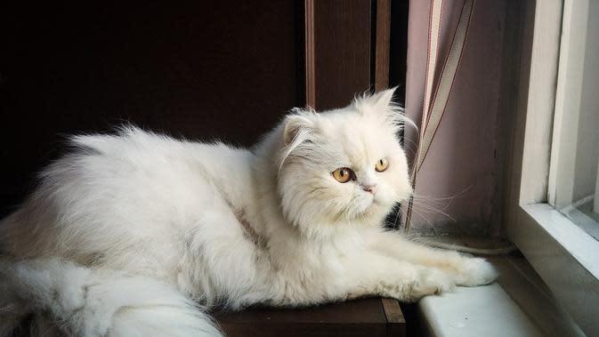 Cara merawat kucing persia agar bulunya tetap bagus dan sehat. (Pixabay)