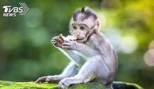 為製新藥!小猴子「頭頂鑿開塞電擊棒」 慘遭活體實驗