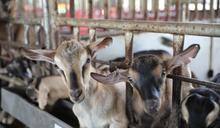 無抗飼養全球趨勢!畜試所成功研發無添加抗生素營養飼料