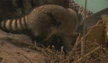 受虐4浣熊安置木柵動物園 今新家亮相