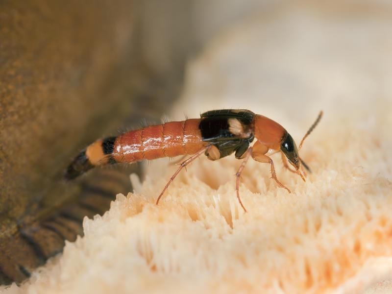 因翅膀比一般昆蟲小而稱「隱翅」