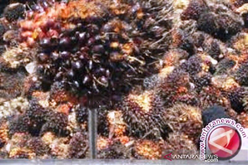 Harga sawit Riau turun lagi
