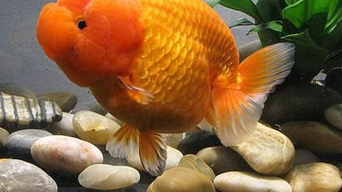 Ilustrasi Ikan Mas Koki Lionhead (Foto: cometgoldfish.blogspot.com.au/pinterest)