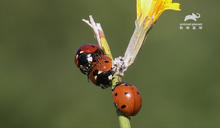維持交配姿勢長達兩周! 竹節蟲神奇體位「先清理雌蟲陰道」