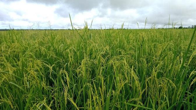 Lahan padi dan jagung di Merauke. (Dok Kementan)