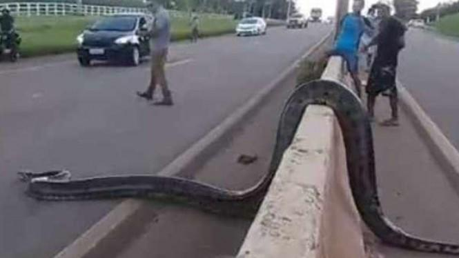 Heboh! Video Ular Anaconda Besar Menyeberang Jalan