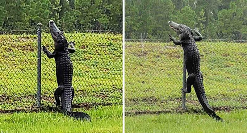 An alligator is seen scaling the wire fence at Naval Air Station in Jacksonville, Florida.