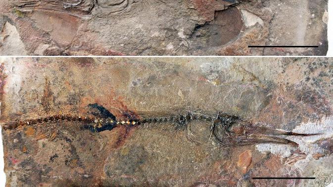 Fosil lizard fish atau ikan kadal yang ditemukan di Monastery of La Candelaria, sebuah bangunan yang berasal dari abad ke-17 di Ráquira Boyacá, Kolombia. (Oksana Vernygora/University of Alberta)