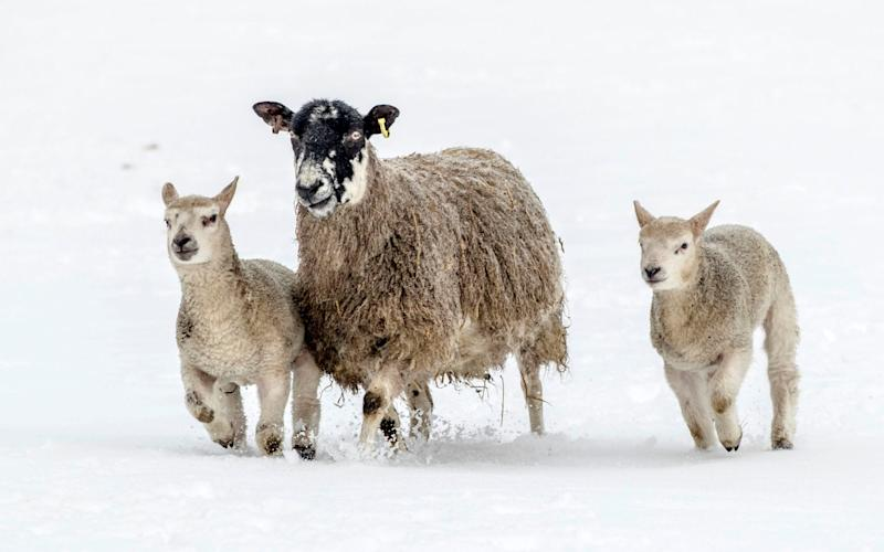Sheep at a farm in Bainbridge, North Yorkshire, try to keep warm - DANNY LAWSON/PA