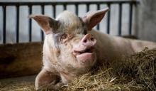 「豬堅強」:中國汶川大地震中倖存的「新聞動物」的故事