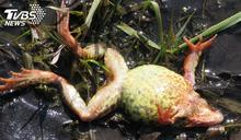 武漢市場再爆販售「野生青蛙」 全網怒批:死性不改