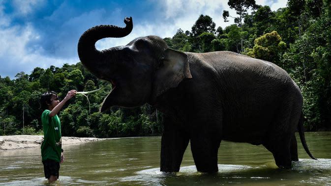 Pengunjung memberi makan gajah betina Sumatra sebelum memandikannya di Conservation Respons Unit (CRU) Sampoiniet, Aceh, Minggu (7/6/2020). Memasuki masa new normal, CRU Sampoiniet kembali membuka wisata konservasi meski membatasi jumlah kunjungan wisatawan. (CHAIDEER MAHYUDDIN/AFP)