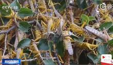 蝗蟲也懂喝「普洱茶」 中農業部坦承失守:竹蝗自寮國遷入恐常態化