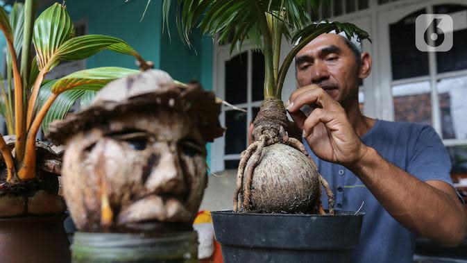 Pengrajin tanaman, Herman Ronda merawat bonsai kelapa di Jalan Salak, Pamulang, Tangerang Selatan, Senin (13/10/2020). Bonsai dari jenis batok kelapa gading hingga kelapa sayur bisa dibentuk mulai dari jenis binatang hingga kepala manusia. (Liputan6.com/Fery Pradolo)