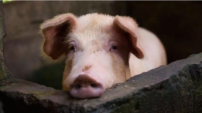 Geger Virus Corona Picu Babi Diare, Berpotensi Menular ke Manusia