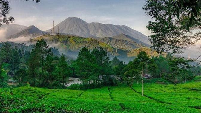 Perkebunan teh di kawasan Pegunungan.