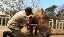 亞洲最大犀牛繁育基地40年23隻!六福村犀牛「艾瑪」將遠嫁日本、超萌受訓曝光