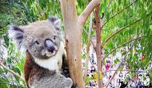 飼料費太貴養不起 無尾熊被大阪天王寺動物園「裁員」