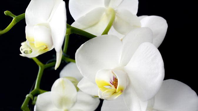 20 Macam Macam Bunga Anggrek Yang Populer Di Indonesia Ada Yang Dilindungi