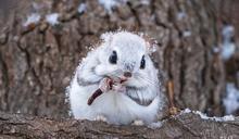 北海道小飛鼠「雪中覓食」 網大讚:是冬之精靈!