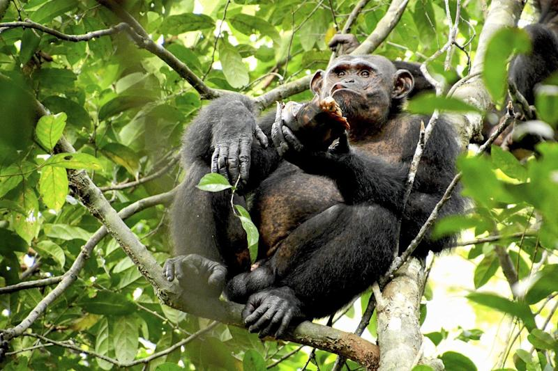 Chimp eating the insides of a tortoise in a tree.