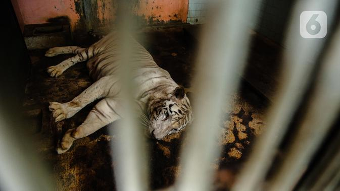 Harimau terlihat dalam kandangnya di Taman Margasatwa Ragunan, Jakarta Selatan, Senin (20/4/2020). Satwa-satwa di Taman Margasatwa Ragunan terlihat lebih tenang karena pada dasarnya habitat asli mereka jauh dari keramaian manusia. (Liputan6.com/Faizal Fanani)