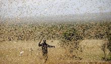 一隻成蟲每日吃2克作物 數百億蝗蟲釀東非糧食危機