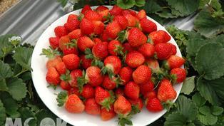 大湖草莓季提早到!免費入園平日享折扣