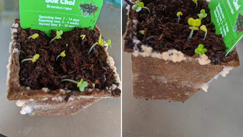 Other photos of more growths on Nicole Wilson's plant handed out by Woolworths.