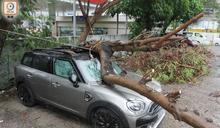 3號風球下沙田停車場塌大樹 壓毀2私家車無人傷