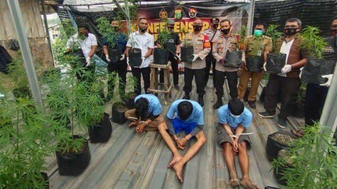 Polisi memperlihatkan tiga pemuda tersangka penanam dan penjual ganja beserta se