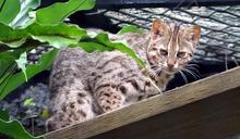 石虎逃走了!台北市立動物園3歲石虎「飛飛」疑挖地洞鑽出去、失蹤3天迄未尋獲