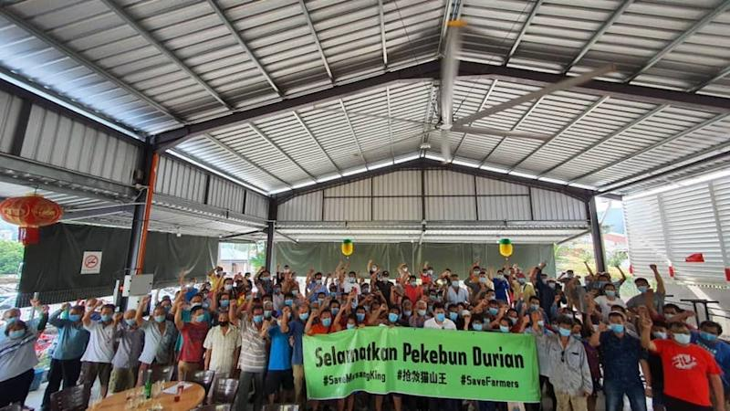 Musang King durian farmers alleged they are being pressed into signing an exploitative contract that would require them to pay 'rent' of RM6,000 per acre for this year. ― Picture courtesy of Save Musang King Alliance (Samka)
