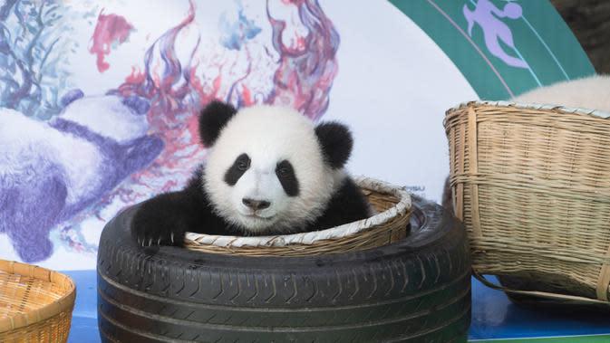 Foto pada 29 September 2020 menunjukkan seekor anak panda raksasa yang tampil perdana di Pusat Penangkaran dan Penelitian Panda Raksasa Chengdu di Provinsi Sichuan, China. Beberapa ekor anak panda raksasa tampil untuk pertama kalinya di depan publik pada Selasa (29/9). (Xinhua/Zhang Kefan)