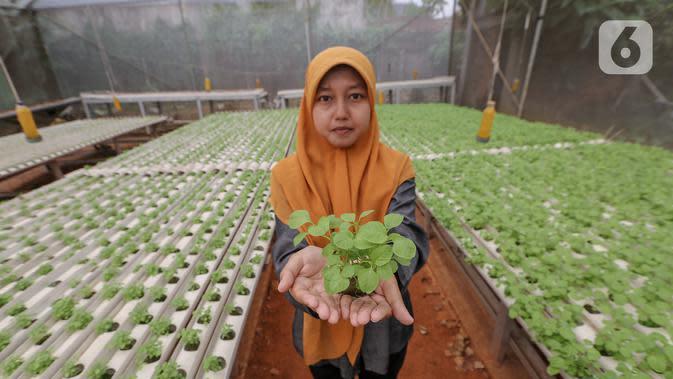Karyawan menunjukkan sayur hidroponik jenis bayam di Serua Farm, Bojongsari, Depok, Jawa Barat, Jumat (26/6/2020). Kebun sayur hidroponik dengan 25.000 lubang tanam, banyak menyuplai ke pedagang eceran hingga dijual ke masyarakat sekitar. (Liputan6.com/Fery Pradolo)