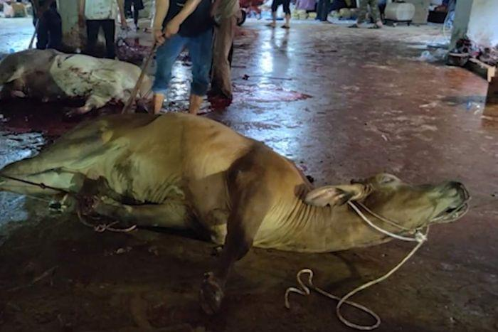 A cow lies on the ground. There is blood on the floor.