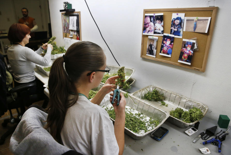 """In this Dec. 27, 2013 photo, employees trim away leaves from pot plants, harvesting the plant's buds to be packaged and sold at Medicine Man marijuana dispensary, which is to open as a recreational retail outlet at the start of 2014, in Denver. Colorado is making final preparations for marijuana sales to begin Jan. 1, a day some are calling """"Green Wednesday.""""(AP Photo/Brennan Linsley)"""